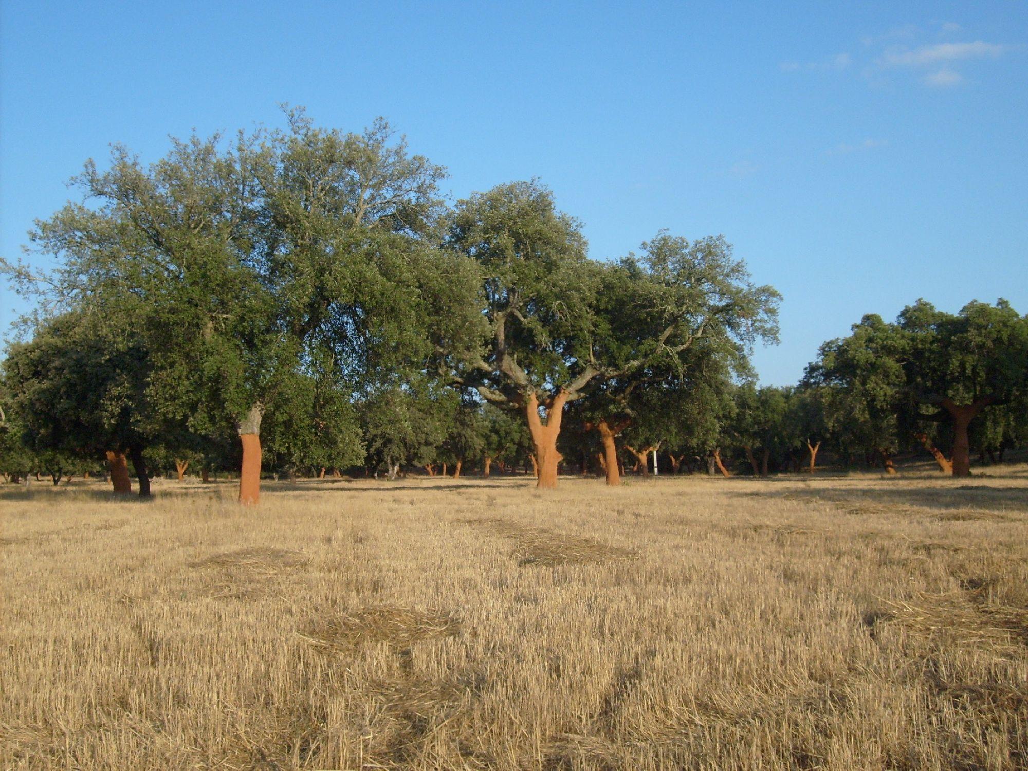 Cork oak Silvoarable